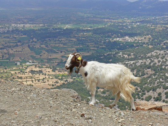 Malia, Grecia: One of many goats