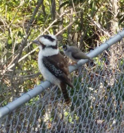 Nelson Bay, Austrália: Kookaburra