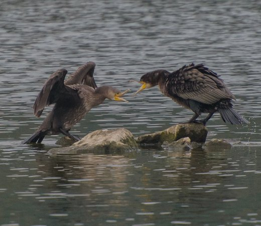 Conwy Water Gardens: Cormorant feeding it's young