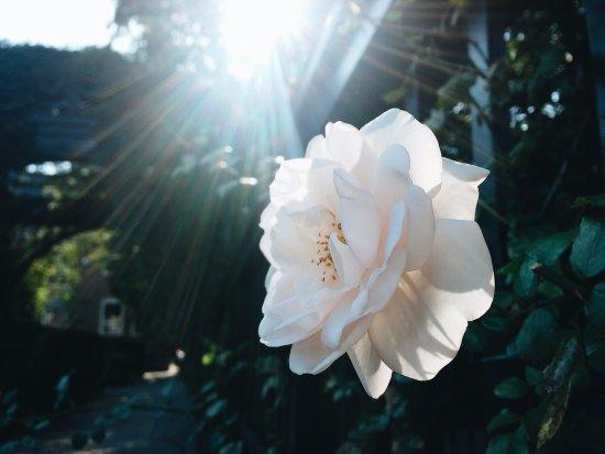 Groningen, Holandia: Rose
