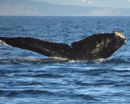 Eagle Wing Whale Watching Tours: Humpback whale fluke