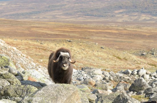 Central Norway, Norwegia: Musk ox