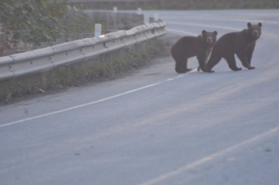 Kodiak, AK: Cubs crossing the road in from top us