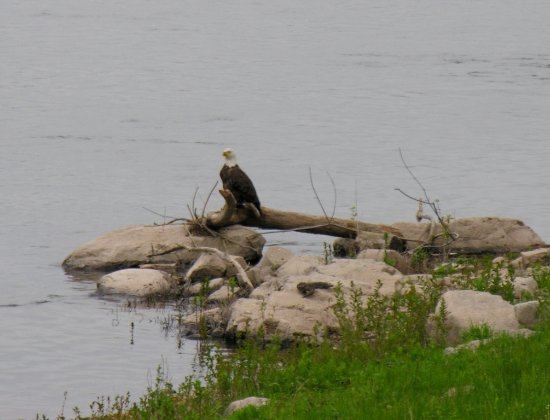 Bridgeview Bed & Breakfast: A Bald Eagle conteplating dining at the Susquehanna Sushi Bar.