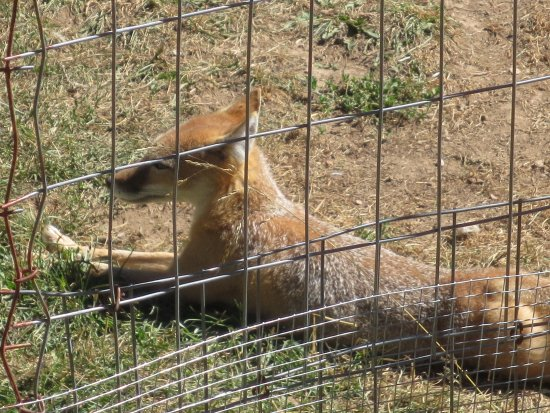 Divide, CO: Tiny fox