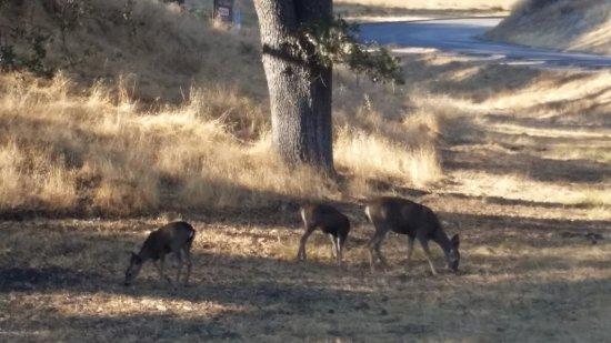 อาร์โรโย แกรนด์, แคลิฟอร์เนีย: Deer everywhere