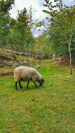 Sandvig, Dania: Græssende får ved fyret