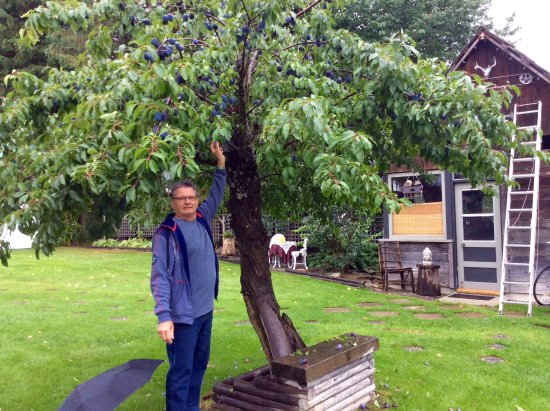 7 Acres Bed & Breakfast: My husband Michael picking Plums off the tree.