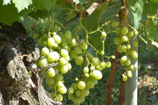 Villa Aureli: Home grown grapes