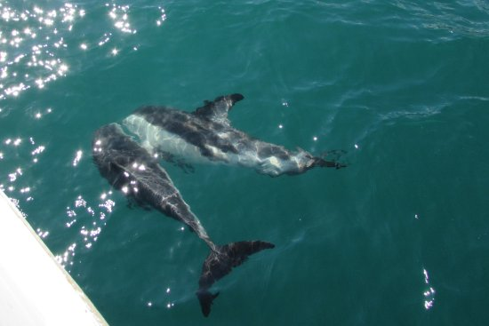 Pelorus Mail Boat: Dusky Dolphins up close and personal - magic