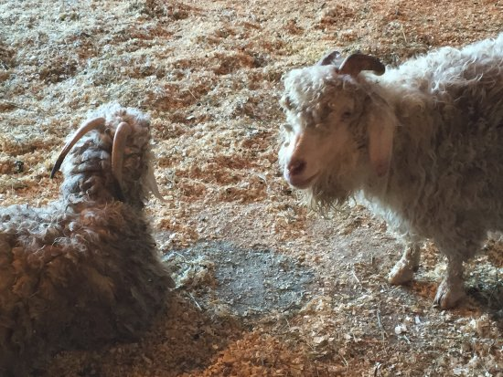 Whitefield, Nueva Hampshire: Angora goats on the adjacent farm