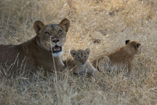 Porini Lion Camp: Lioness and cubs in the Mara