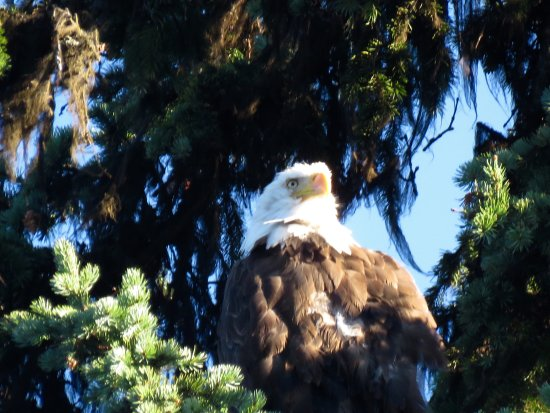 Meadow Lake Fishing Camp: Eagle watching from on high!