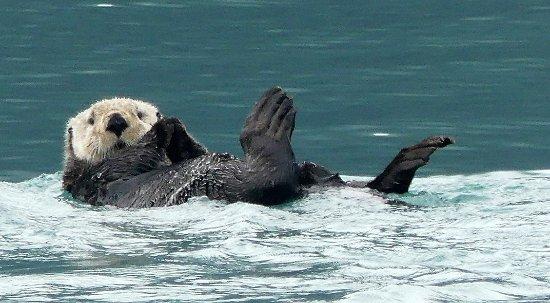 Valdez, AK: Playful sea otter on way to Meares glacier
