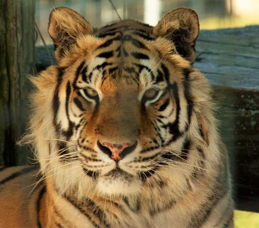 Turpentine Creek Wildlife Refuge : this tiger is in a large grassy habitat with room to play and explore