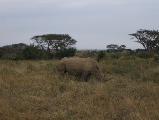 Nairobi Tented Camp: White Rhino seen day one