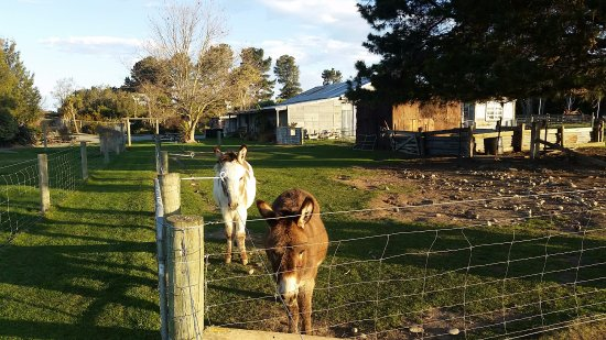 Geraldine, Nuova Zelanda: Our Pet Donkeys Ace and Pedro