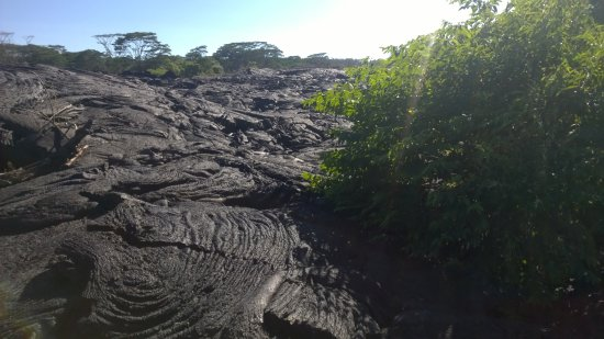 Pahoa, Χαβάη: Trees still living in the lava flow