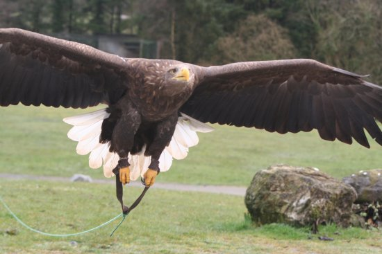 Ballymote, Irlanda: Eagles flying