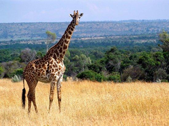 Marloth Park, Sudafrica: Giraffe