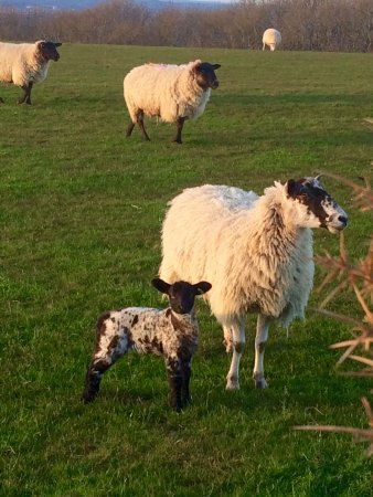 Hassocks, UK: Great for seeing the lambs up close in spring