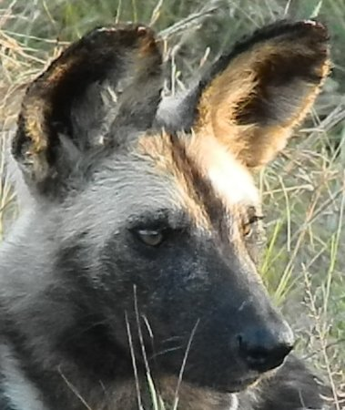 Marloth Park, South Africa: Wilddog