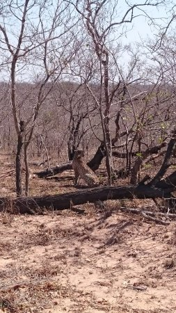 Marloth Park, África do Sul: Cheetah