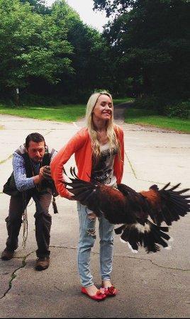 Newark-on-Trent, UK: Hawks of Steele Harris Hawk