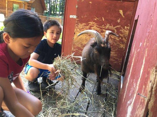 Benton, PA: Friendly Goats