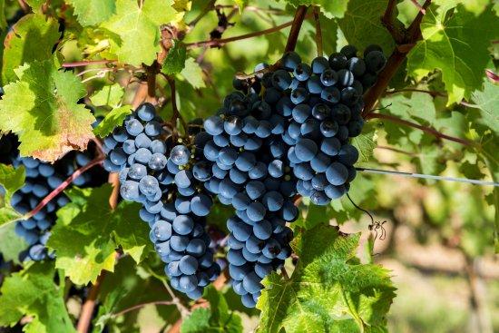 Martigne-Briand, France: une grappe de cabernet sauvignon