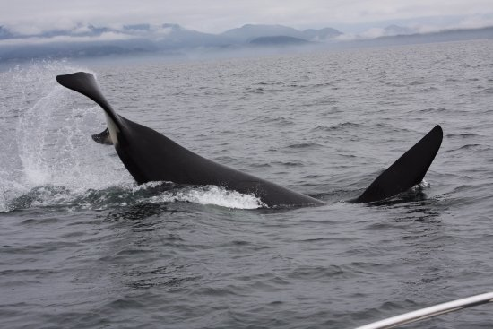Port Coquitlam, Kanada: A playful Orca right off our bow
