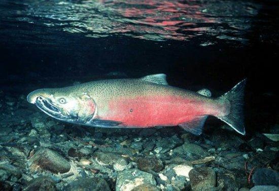 Hood River, Oregón: coho_salmon_large.jpg