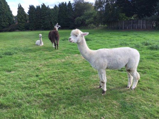 Dunchurch, UK : Male Alpacas