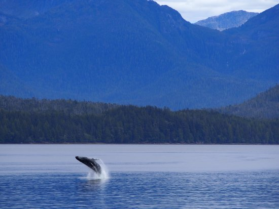 Prince Rupert Adventure Tours: Breeching Humpback Whale