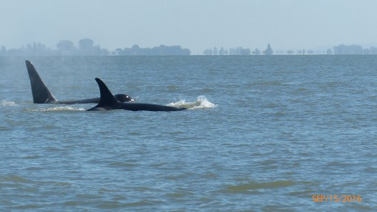 Sidney, Kanada: Male and female orcas.