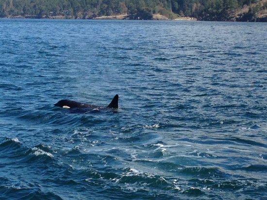 เอดมันด์ส, วอชิงตัน: Orca Whale
