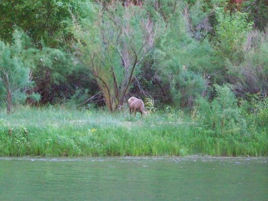 Vernal, UT: A Big Horned Sheep by the side of the river
