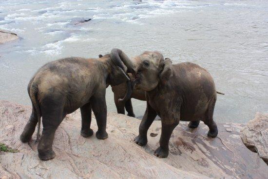 Пиннавала, Шри-Ланка: то ли обнимание хоботами, то ли выяснение отношений