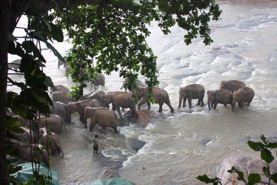 Пиннавала, Шри-Ланка: в тени деревьев