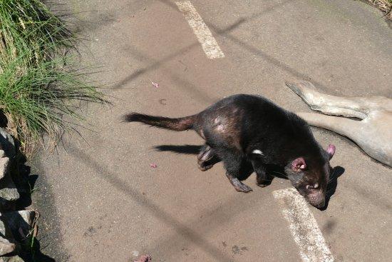 Mosman, Austrália: Tasmanian devil