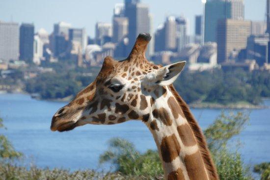 Mosman, Austrália: Giraffes eye view of the city