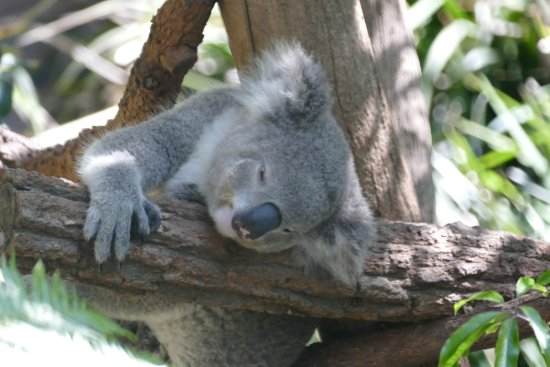 Mosman, Austrália: Sleepy koala