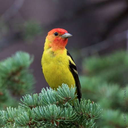 Red Lodge, MT: Western Tanager