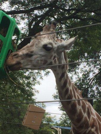 Milwaukee County Zoo giraffe
