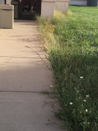 Mattoon, IL: Overgrown weeds by back entrance