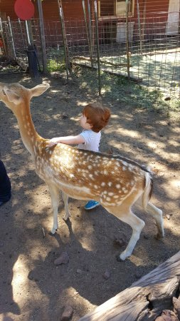 Williams, AZ: He loved feeding and petting the deer.