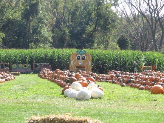 Cheshire, MA: Corn maze