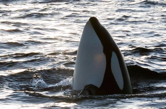 Andenes, Norge: Killer whale spyhopping
