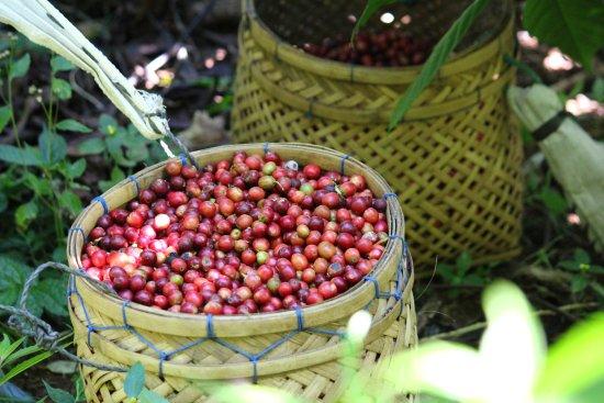 Gobleg, Indonesien: Harvesting our coffee