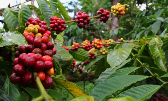 Gobleg, Indonesien: Our coffee trees